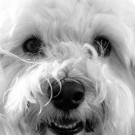 Sammie by Jerry Karlovich - Animals - Dogs Portraits ( havanese, white dog, sammie,  )