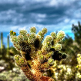Teddybear Cholla by Catalina Caballero - Nature Up Close Other plants ( desert, nature, plants, cactus )