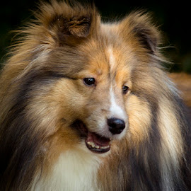 Wylie by Trent Eades - Animals - Dogs Portraits ( dog, sheltie, portrait,  )