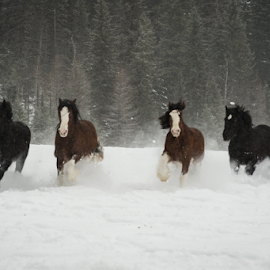 Horses in the Snow by John Klingel - Animals Horses ( winter, horses, snow, clydesdales )