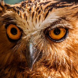 Owl portrait by Prodjo Tamansari - Novices Only Wildlife