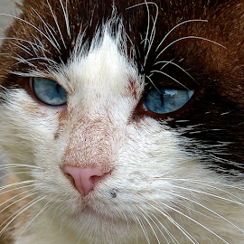 by Laura Payne - Animals - Cats Portraits ( face, cat, eyebrow, male, scar, white, front, blood, bruiser, side, blue, tom, injury, whisker, brown, pink, feline, fighter, black, animal, profile )