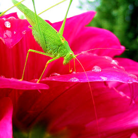 Grasshopper after rain by Marius Cristea - Nature Up Close Gardens & Produce