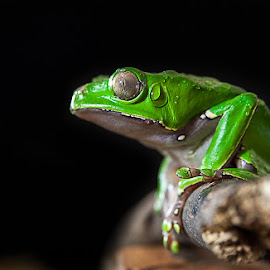 Alert by Yasser Ayad - Animals Amphibians ( black background, stick, wood, nature, frog, green amphibian, branch, dark background, still, perch, animal, eye )