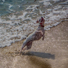 Rat Terrier Chasing Sand by Sandy Friedkin - Animals - Dogs Playing ( chasing sand, ocean waves, jumps high, surf, dog, rat terrier, Beach, sunset, blue, water, ocean.  )