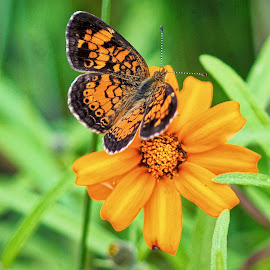 Orange by Carol Plummer - Animals Insects & Spiders ( butterfly, orange, nature, insect, flower, animal )