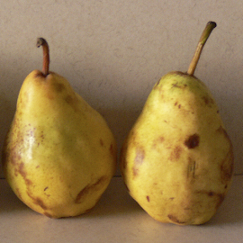 Two Pears by Michael Dohnalek - Food & Drink Fruits & Vegetables ( fruit, food, still life, ripe, pears, yellow )