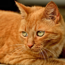 Miss Goldie by Brenda Reed Buehler - Animals - Cats Portraits ( love, cat, family, pet, tangerine )