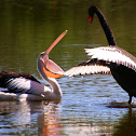 BLACK SWAN and Australian Pelican