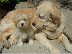 Havanese_and_Golden