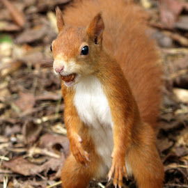 Nuts by Garry Chisholm - Animals Other Mammals ( garry chisholm, red, nature, wildlife, rodent, squirrel )