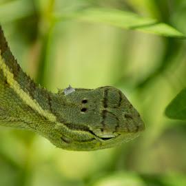 Oriental Garden Lizard by Sankar Singha - Animals Reptiles ( west bengal, lizard, nature, wildlife, india, reptile, animal )