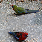 Crimson Rosella juvenile & adult