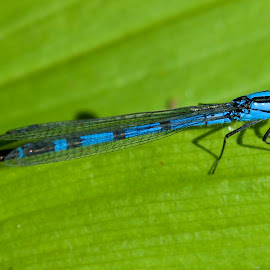 Black & Blue Damselfly by Wade Tregaskis - Animals Insects & Spiders ( perched, damselfly, blue, leaf, dragonfly, black )