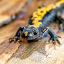 Long-Toed Salamander