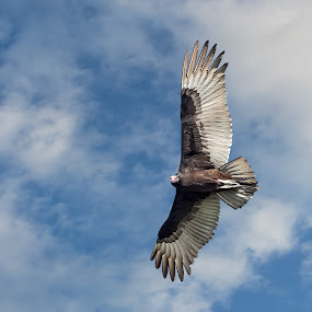 Turkey Vulture by Jay Gould - Animals Birds ( bird wings spread, bird, bird of prey, bird flying, turkey vulture,  )
