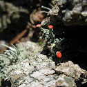 British Soldiers/Cladonia Cristatella