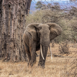 close enough by Vibeke Friis - Animals Other Mammals ( wild, elephant, dangerous,  )