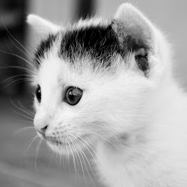 by Delia Tanase - Animals - Cats Kittens ( black and white, animal )