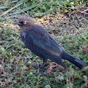 Brewer's Blackbird (subadult male)