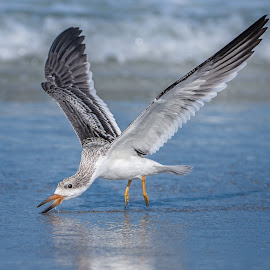 Skimming Practice by Lynn Wiezycki - Animals Birds ( skimming, indian shores, chick, black skimmer, feeding, birds )