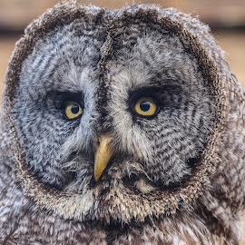 Marley by Garry Chisholm - Animals Birds ( bird, garry chisholm, nature, owl, wildlife, prey, raptor, grey )