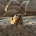 Rock Dassie (female)
