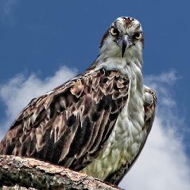Osprey in a tree by Sandy Scott - Animals Birds ( perched osprey, birds of prey, fishing birds, birds, raptors, osprey,  )