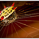 Spiny Orb Weaver Spider