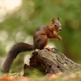happy by Cédric Guere - Animals Other ( goblin, wild, red, nature, joy, wildlife, woods, squirrel, animal )