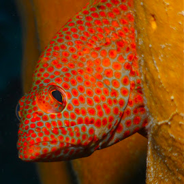 Graysby by David Gilchrist - Animals Fish ( (epinephelus cruentatus), roatan marine park, underwater, fish, graysby )