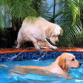 Water Sprites by Julie Blight - Animals - Dogs Playing ( retrievers, water, dogs, goldens, swimming,  )