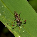 Stalk-eyed Fly