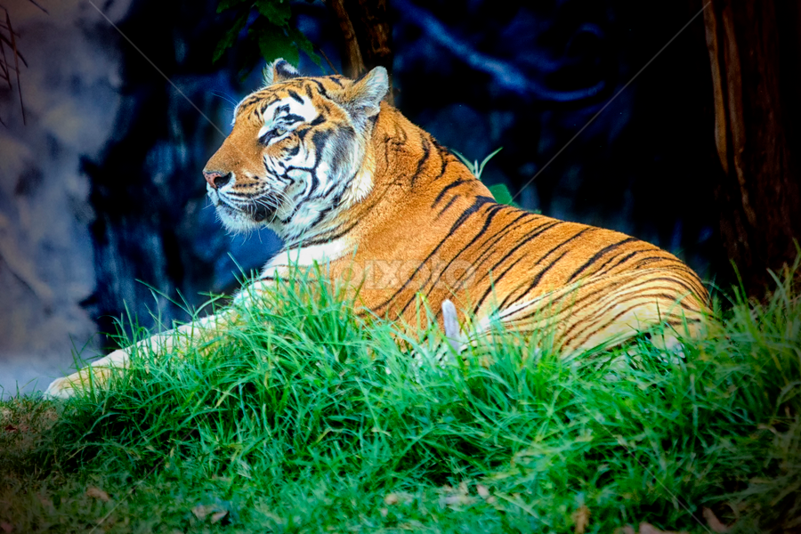 Tiger resting by Cristobal Garciaferro Rubio - Animals Lions, Tigers & Big Cats