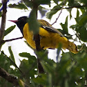 Eastern Black-headed Oriole