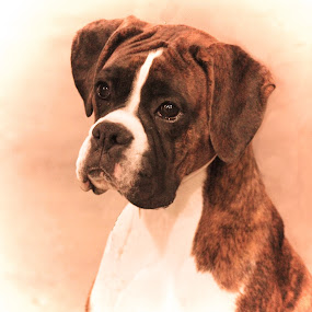 Eyes are the windows of the Soul by Lena Arkell - Animals - Dogs Portraits ( sepia, boxer, boxer dog, dog, portrait,  )