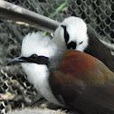 White-Crested Laughing Thrush