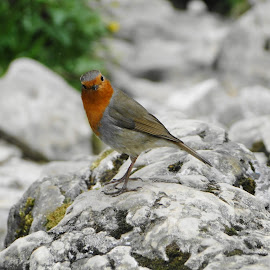 Rocky Robin by Sue Lascelles - Novices Only Wildlife ( bird, robin, red, wildlife, red breast, inquisitive, rock )