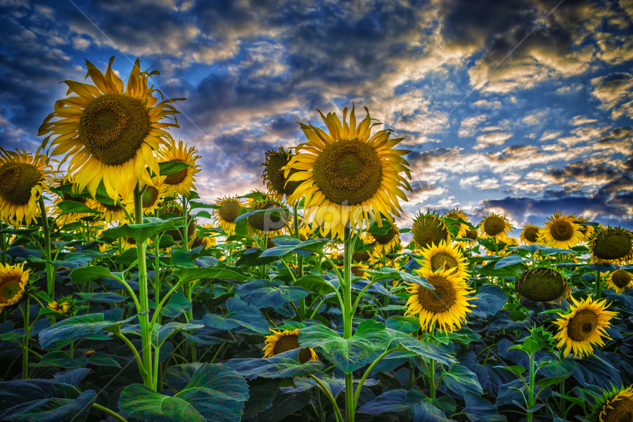 Sunflowers field by Dobrinovphotography Dobrinov - Flowers Flowers in the Wild ( illuminated, plant, the natural world, sunflower, dramatic sky, yellow, beauty, romantic sky, landscape, sun, crop, sky, nature, flower head, light, flower, common sunflower, horizon over land, non-urban scene, green, beautiful, twilight, scenics, agriculture, cloudscape, horizon, beauty in nature, sunlight, dusk, field, daisy family, daisy sunflower, dawn, sunset, cultivated land, moody sky, summer, cloud, rural scene, landscapes, land feature, Hope,  )