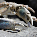 Sheep Crab