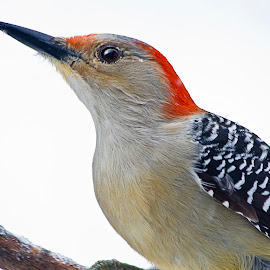Red Bellied Woodpecker  by Sue Matsunaga - Novices Only Wildlife