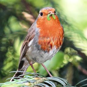 Robin and his catch by Dubravka Bednaršek - Animals Birds ( , Free, Freedom, Inspire, Inspiring, Inspirational, Emotion )