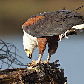 Fish Eagle Feeding by John Mcloughlin Wildlife Photography - Animals Birds ( john mcloughlin wildlife photographer,  )