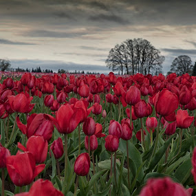 field of red by Kelvin Watkins - Flowers Flower Gardens ( red, tree, tulips, flowers, gloomy )