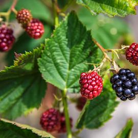 Blackberry by Stanislav Horacek - Food & Drink Fruits & Vegetables
