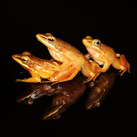 Threesome by Chandra Kushartanto - Animals Amphibians