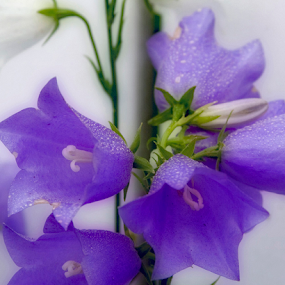 Bluebells by the Fence by Rita Colantonio - Flowers Flower Gardens ( fence, vine, violet blue, garden, bluebells )