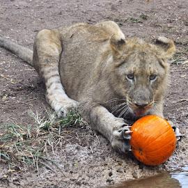Lion Cub by Dawn Hoehn Hagler - Animals Lions, Tigers & Big Cats ( lion, zoo, pumpkin, reid park zoo, baby animal, lion cub )