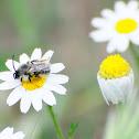 Melittidae bee