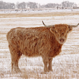 Scottish Highlander by Kirby Hornbeck - Animals Other Mammals ( wooly, animals, horns, winter, snow, cattle )
